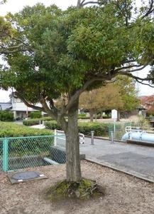 しいの木.jpg