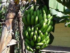 バナナの木.jpg