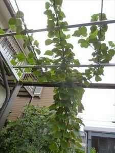 キュウイフルーツ50456_R.JPG